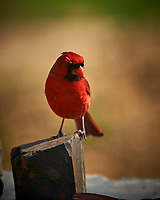 Male Northern Cardinal. Image taken with a Nikon D4 camera and 600 mm f/4 VR lens (ISO 110, 600 mm, f/4, 1/400 sec)