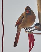 Northern Cardinal (Cardinalis cardinalis). Image taken with a Leica CL camera and Sigma 100-400 mm lens.