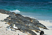 green sea turtles, Chelonia mydas ( Threatened Species ) basking on beach at the primary breeding area for this species in the Hawaiian archipelago, next to masked booby and chick, Sula dactylatra, East Island, French Frigate Shoals, Papahanaumokuakea Marine National Monument, Northwest Hawaiian Islands, Hawaii, USA ( Central Pacific Ocean )