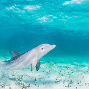Bottlenose dolphin (Tursiops truncatus) underwater playing in the shallows off Eleuthera, Bahamas.