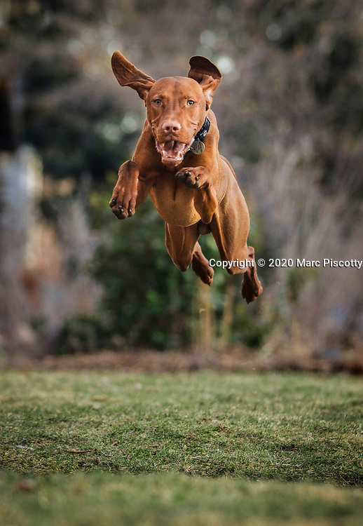 SHOT 3/2/20 6:26:38 PM - Risto, a 10 month-old male Vizsla, leaps over a sidewalk while playing out front of his home in Denver, Co. The Vizsla is a versatile, red-coated gundog built for long days in the field. For centuries, these rugged but elegant athletes have been the pride of Hungarian sportsmen and their popularity in America increases with each passing year. The Vizsla is a natural hunter endowed with an excellent nose and an outstanding trainability. It was bred to work in fields, forests, or bodies of water. Although they are lively, gentle-mannered, demonstrably affectionate and sensitive, they are also fearless and possess a well-developed protective instinct. (Photo by Marc Piscotty / © 2020)