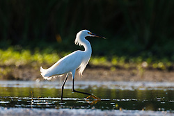 Snowy egret, Lemon Lake, Great Trinity Forest near Trinity River, Dallas, Texas, USA.