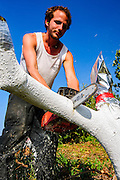 Worker cuts down a mature Avocado tree in preparation for grafting. Photographed in Israel in March