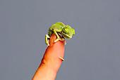 20 baby chameleons