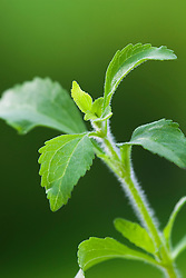 Stevia rebaudiana.<br /> Caa-ehe, Sweet leaf, Sugarleaf