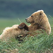 Alaska brown bear (Ursus middendorffi) mother nursing her cub in the grass. Katmai National Park, Alaska