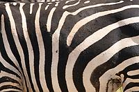 Close-up of the stripes of a Grant's Zebra, Equus quagga boehmi, in Tarangire National Park, Tanzania