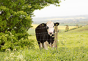 Curious bullock looking over wire fencing, Pewsey Downs chalk grassland, Wiltshire, England, UK