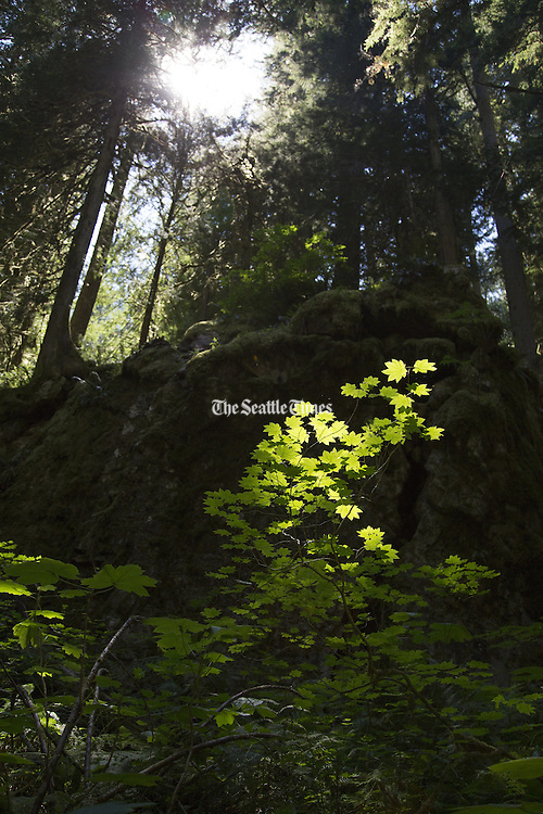 Foliage illuminated by the sun on the forest floor along the Thunder Creek Trail out of Colonial Creek Campground in the North Cascades National Park. (Steve Ringman / The Seattle Times)