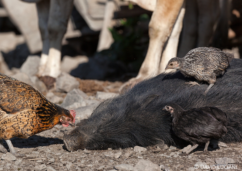 Three chickens sitting and annoying a sleeping pig at Pongging.