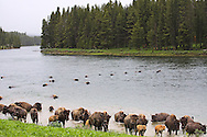 Bison swimming the Yellowstone River the Hayden Valley of Yellowstone National Park