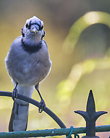 Blue Jay. Image taken with a Fuji X-T4 camera and 100-400 mm OIS lens.