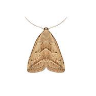 72.060 (2485)<br /> Marsh Oblique-barred - Hypenodes humidalis