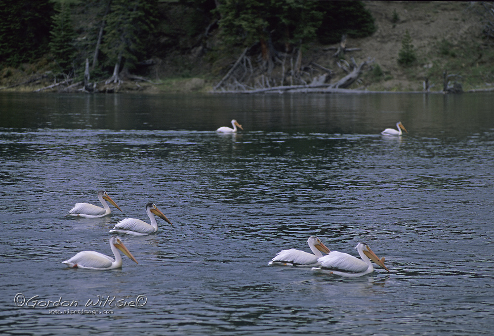 YELLOWSTONE NATIONAL PARK, WYOMING.  American white pelicans (Pelecanus erythrorhynchos) in Yellowtone River.