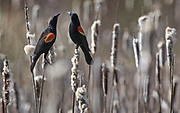 Under sunny skies, red-winged blackbirds hang out in an area filled with cattails in Normandy Park. (Ellen M. Banner / The Seattle Times)