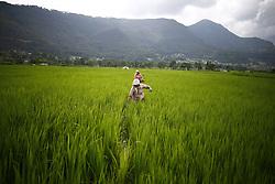 August 18, 2017 - Lalitpur, Nepal - Farmers work at paddy fields in the outskirts of Kathmandu, Nepal on Friday, August 18, 2017. (Credit Image: © Skanda Gautam via ZUMA Wire)