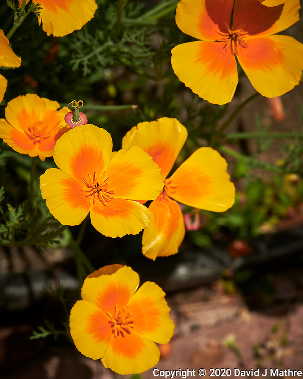California Poppy. Image taken with a Nikon D850 camera and 70-300 mm VR lens.