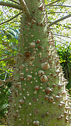 The Silk Floss or Floss-Silk tree (Ceiba speciosa, formerly Chorisia speciosa), is a member of the bombax family (Bombacaccae). It is a thorny flowering tree native to South America but cultivated as an ornamental in other regions. It grows to a height of about 15 metres and its large pink flowers yield a vegetable silk used in upholstery.