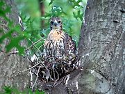 The red-tailed hawk chick is on the nest in Central Park, NYC.