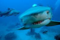 Lemon Sharks, Movement