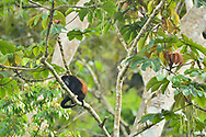 Mantled Howler (Alouatta palliata) monkey resting in a tree in Golfo Dulce, Puntarenas, Costa Rica.