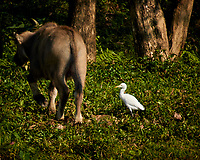 Cattle Egret viewed from the deck of a tourist boat while traveling on the Perfume river in Hue. Image taken with a Nikon 1 V3 camera and 70-300 mm VR lens (ISO 200, 300 mm, f/5.6, 1/640 sec).