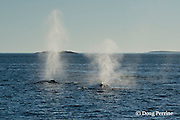 fin whales or finback whale, Balaenoptera physalus, spouting or blowing, near Grand Manan Island, Bay of Fundy, New Brunswick, Canada