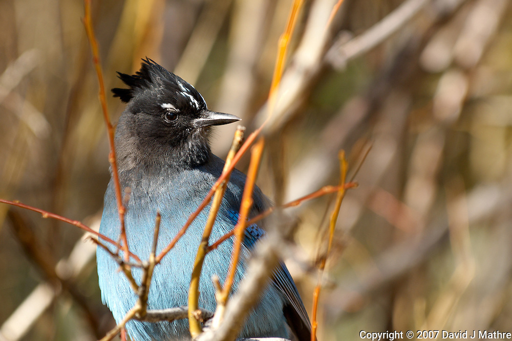 Steller's Jay at Rocky Mountain National Park. Image taken with an Nikon D2xs and 70-200 mm f/2.8 VR lens (ISO 100, 200 mm, f/4, 1/60 sec).