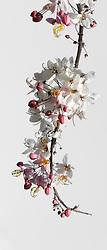 Cassia Bakeriana Pink Shower Wishing Tree#001vert