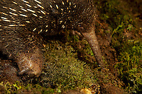 Eastern Long-beaked Echidna (Zaglossus bartoni)<br />