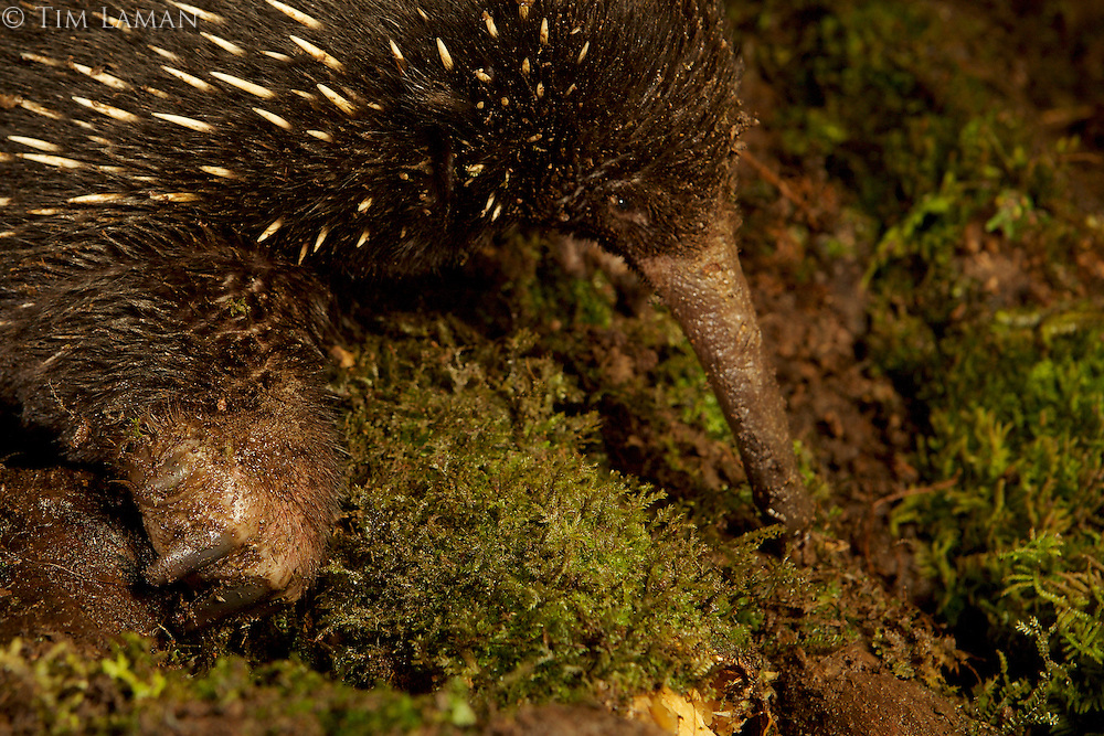 Eastern Long-beaked Echidna (Zaglossus bartoni)<br /><br />Endangered Species (IUCN Red List: CR)