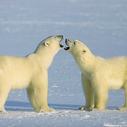 Large male polar bears play fighting in Churchill, Manitoba, Canada.