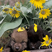 Gray Wolf, (Canis lupus) Young pups in Arrowleaf Balsamroot flowers. Montana.  Captive Animal.