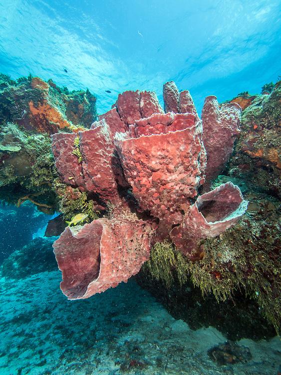 Barrel sponge in Cozumel, Mexico
