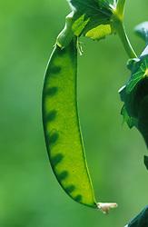 Pea 'Hurst Green Shaft' - Pisum sativum. Backlit to show peas in their pods