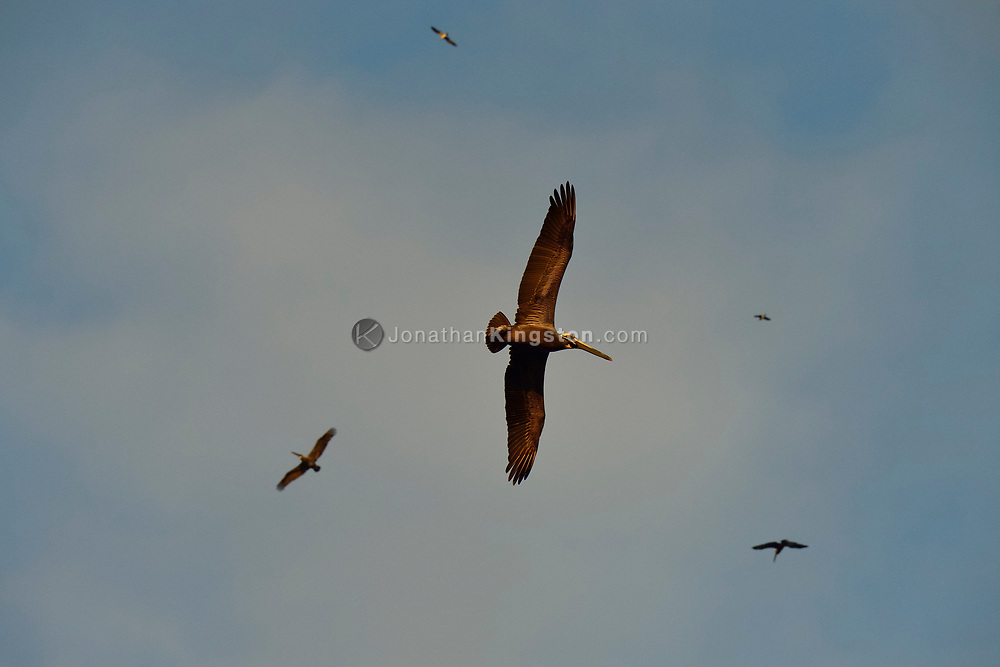 Brown pelicans (Pelecanus occidentalis) soar against a blue sky in Panama.