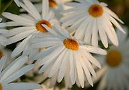 Dew drops on Marguerite daisies (Argyanthemum frutescens)