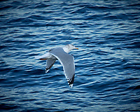 Gull in flight from the deck of the Hurtigruten MS Fram traveling between Torvik and Ålesund. Image taken with a Nikon D2xs camera and 80-400 mm VR lens (ISO 400, 400 mm, f/5.6, 1/640 sec).