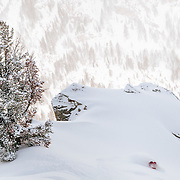 Kim Havell skis blower storm powder in the backcountry of the Tetons near Jackson Hole Mountain Resort, Teton Village, Wyoming.