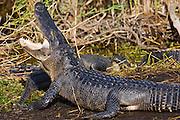 Alligator by Turner River, Everglades, Florida, USA
