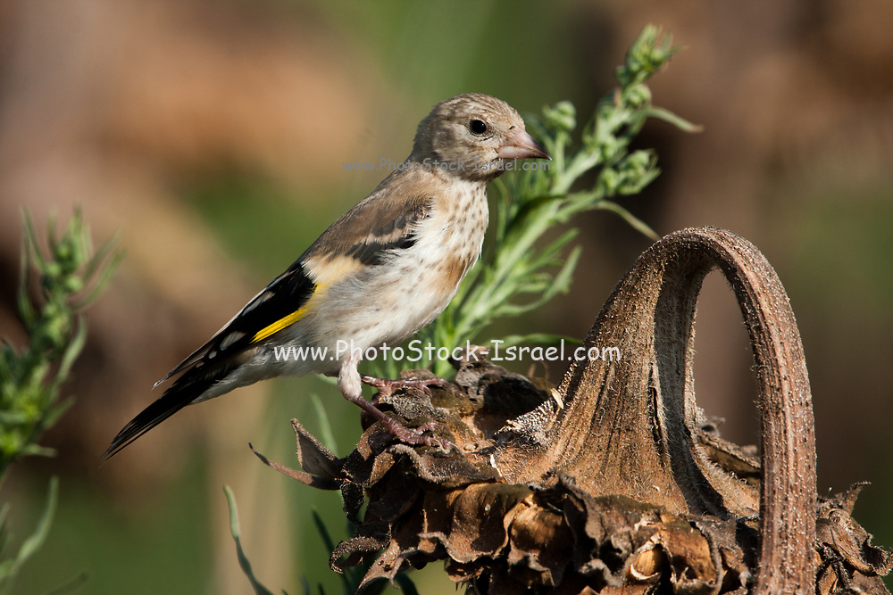 European goldfinch (Carduelis carduelis) perched on a twig. These birds are seed eaters although they eat insects in the summer. Photographed in israel in June