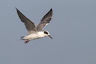 Forster's Tern - Sterna forsteri - 1st winter
