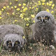 Snowy owl (Bubo scandiacus) chicks. Barrow, Alaska