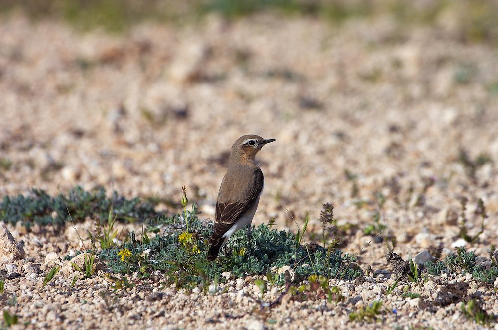 Black-eared Wheatear ( Oenanthe hispanica), Northern Cyprus