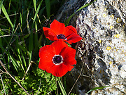 flowering field of red Anemone coronaria. Photographed in Israel in January