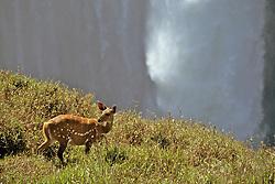 Bushbuck And Victoria Falls