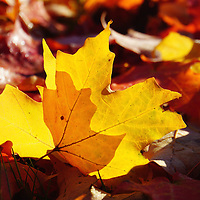 """""""Of Light and Leaves Too""""<br /> Beautiful sunlight through a golden maple leaf on the ground in a bed of fall leaves!"""