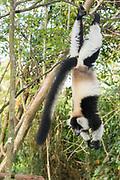 Black-and-white ruffed lemur (Varecia variegata) in the forest of Palmarium Reserve, Madagascar.