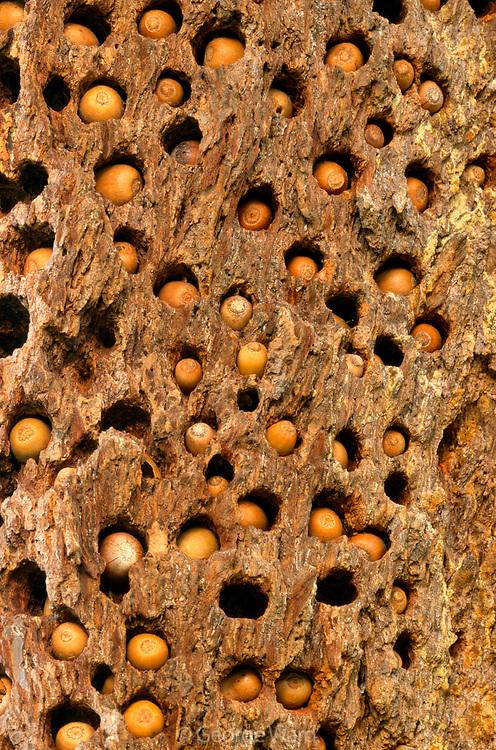 Acorns of Acorn Woodpecker in Douglas-fir, Phillip Burton Wilderness,Point Reyes National Seashore, California