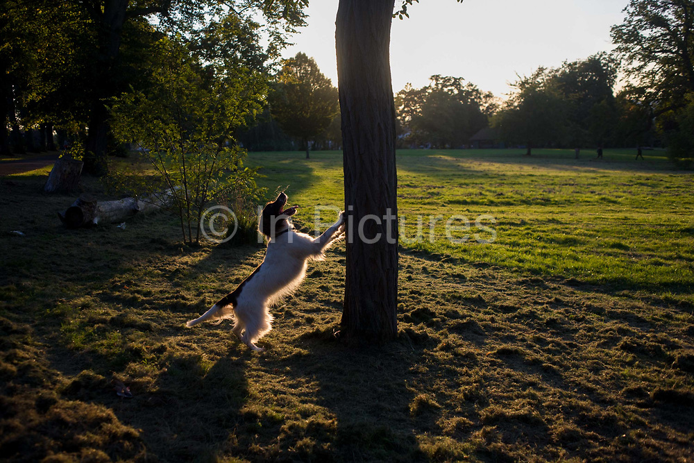 A pet spaniel jumps against a tree while barking at park tree squirrels. Leaping up at the tree trunk, the dog is excited enough to think it can catch or frighten these fast-moving creatures that occupy London's parks and public spaces in their thousands. Whereas the squirrel population was once brown, these have been superceded by the grey squirrel which continue to be a recreational sport for four-legged animals in Britain. The distant sun sinks low over 100 year-old ash trees in the background making this scene one of beauty in an otherwise urban location.